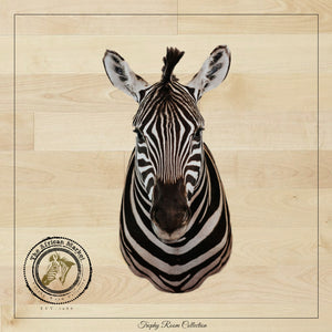 SHOULDER MOUNT - Zebra Trophy - Trophy Room Collection