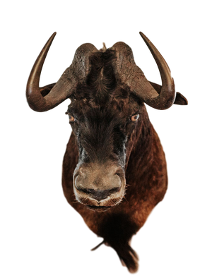 SHOULDER MOUNT - Black Wildebeest Shoulder Mount - Trophy Room Collection
