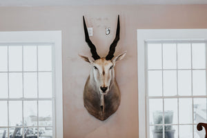 SHOULDER MOUNT - Eland Trophy - Trophy Room Collection