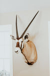 SHOULDER MOUNT - Gemsbok Trophy - Trophy Room Collection