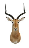SHOULDER MOUNT - Impala Trophy 1 - Trophy Room Collection