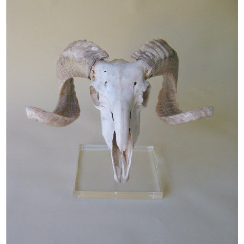 Mounted Marino Ram Skull - Trophy Room Collection