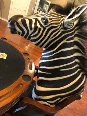 SH-2_SHOULDER MOUNT - Zebra Trophy - Trophy Room Collection