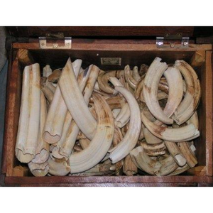 Hippo Ivory- Natural Per Pound - Trophy Room Collection