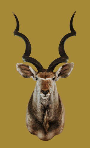 SHOULDER MOUNT - Kudu Trophy 2 - Trophy Room Collection