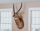 SHOULDER MOUNT - Waterbok Trophy - Trophy Room Collection