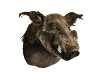 SHOULDER MOUNT - Bush Pig Trophy - Trophy Room Collection