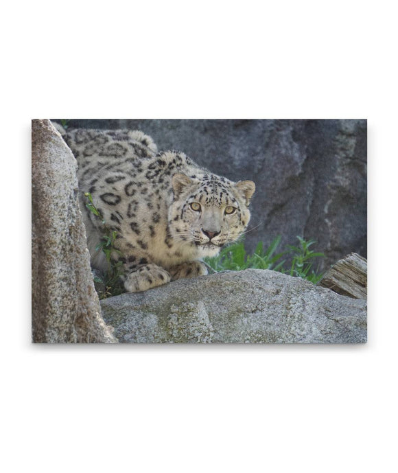 Snow Leopard Photo Print Canvas Wall Art