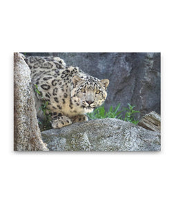 Snow Leopard Canvas Wall Art