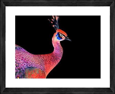 Peacock Photographic Print with Frame