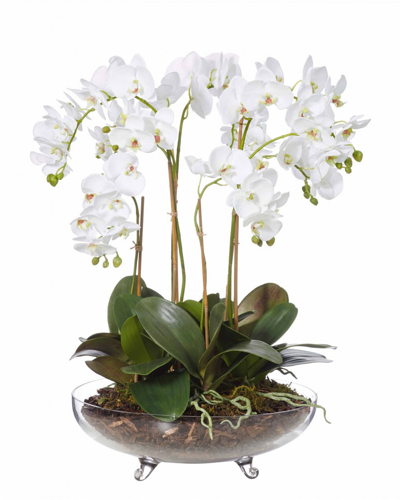 Phalaenopsis Plant in Footed Vase