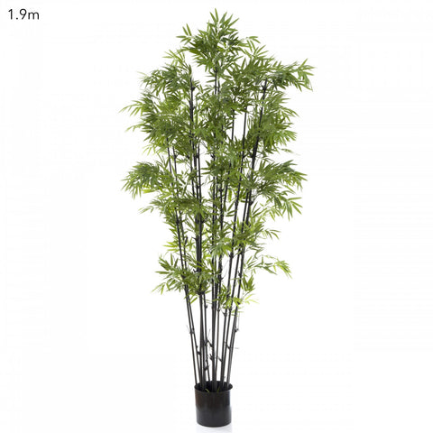 Japanese Bamboo with Black Stem 1.9m