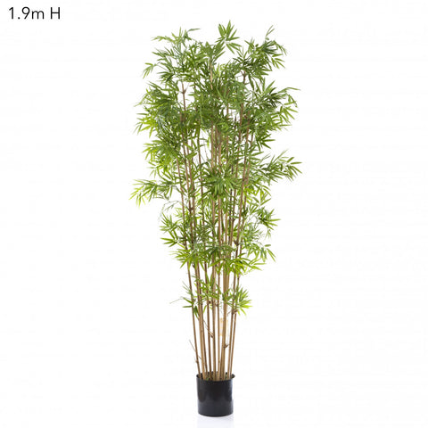 Japanese Bamboo Tree 1.9m
