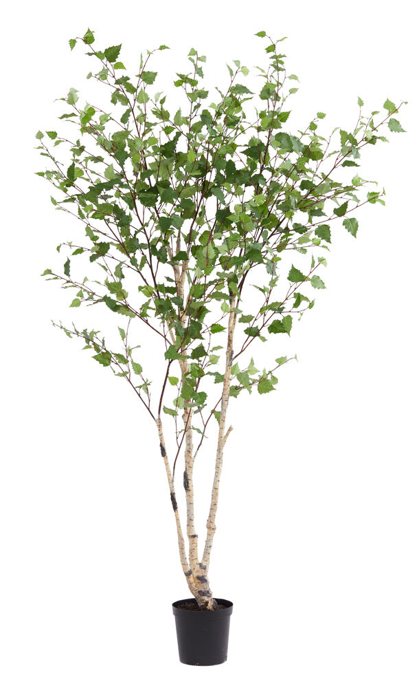 Silver birch tree small interiors online for Silver birch trees for small gardens