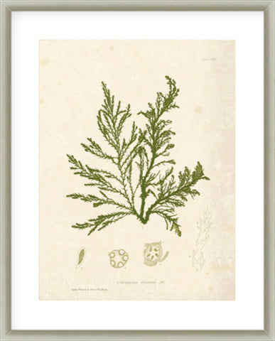 Gracilaria Multipartita Framed Print