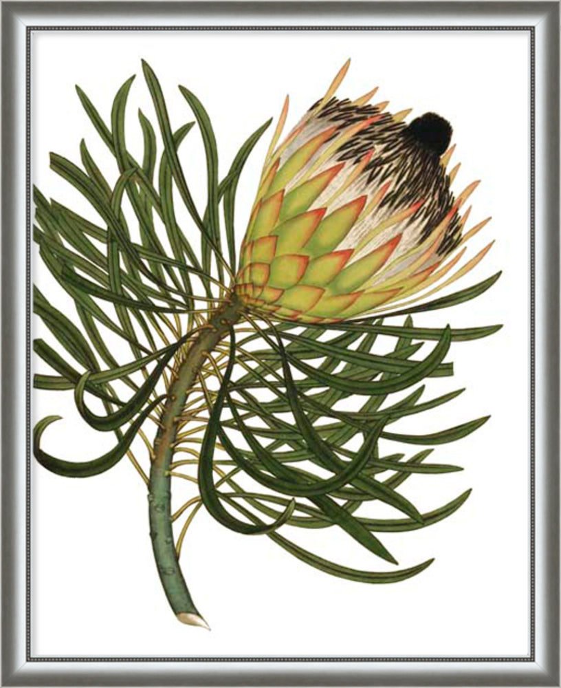 Custom Antique Protea On White III Framed Print