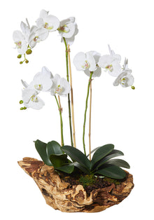 Deluxe Phalaenopsis in Stump Planter White