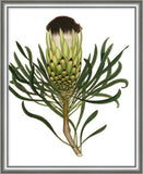 Custom Antique Protea On White II Framed Print