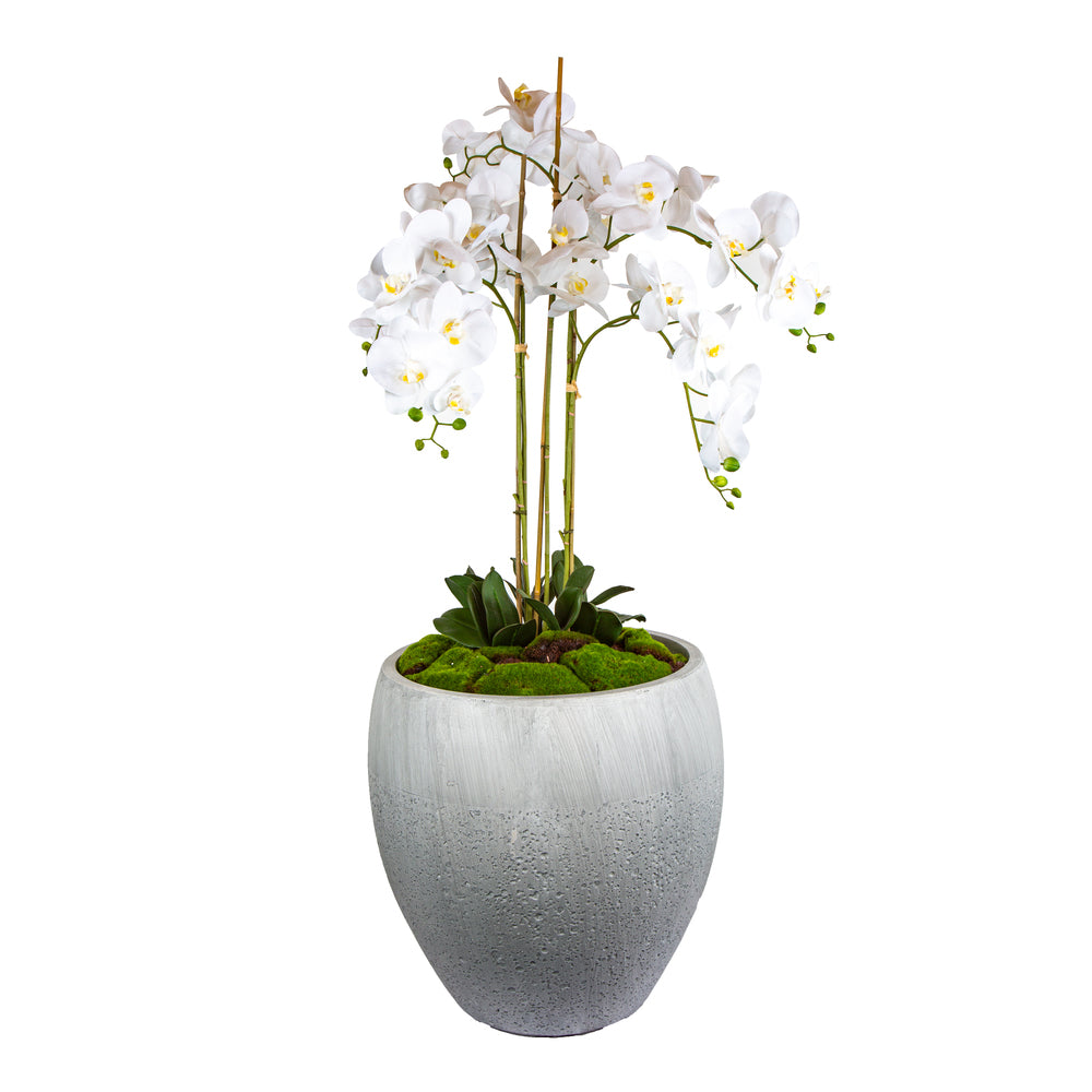 Harriet Orchid in Planter