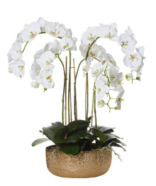 Phalaenopsis in Kiara Bowl White Small