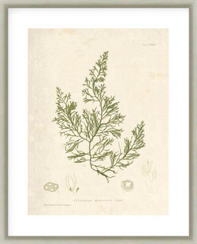 Codium Tometosum Framed Print