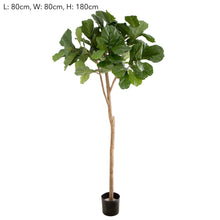 Fiddle Leaf Fig Tree 1.8m