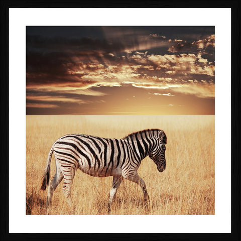 Zebra Sunset Photographic Framed Print