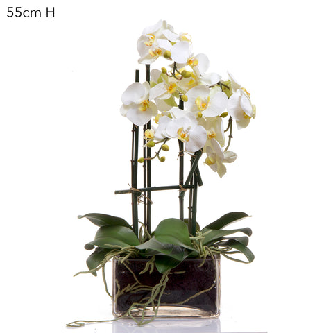 White Orchid in Square Glass Vase