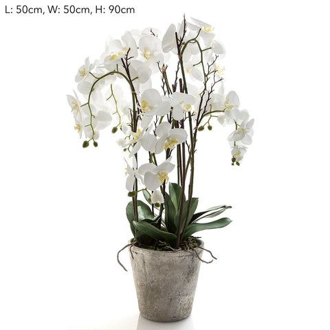Orchid Phal Large in Terracotta Pot White