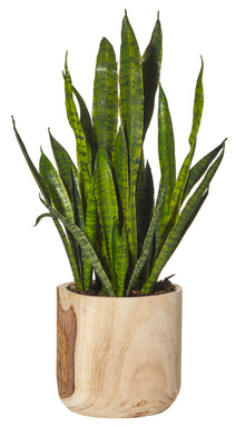Sanseveria in Dansk Pot