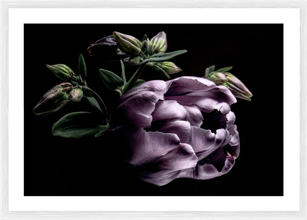 Purple Tulip Photographic Framed Print
