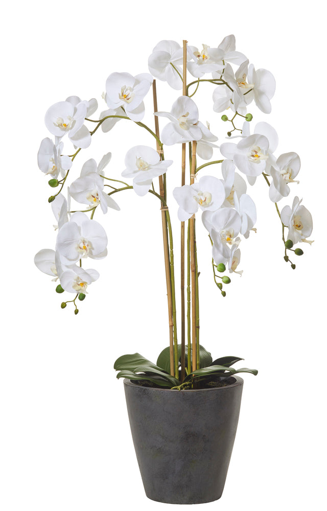 Butterfly Orchid in Tall Dark Grey Pot
