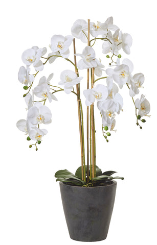 Butterfly Orchid in Round Pot White