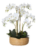 Deluxe Phalaenopsis in Rohan Basket White Large