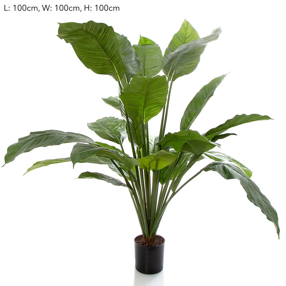 Spathiphyllum Potted 100cm