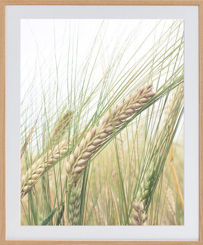 Barley Photographic Framed Print