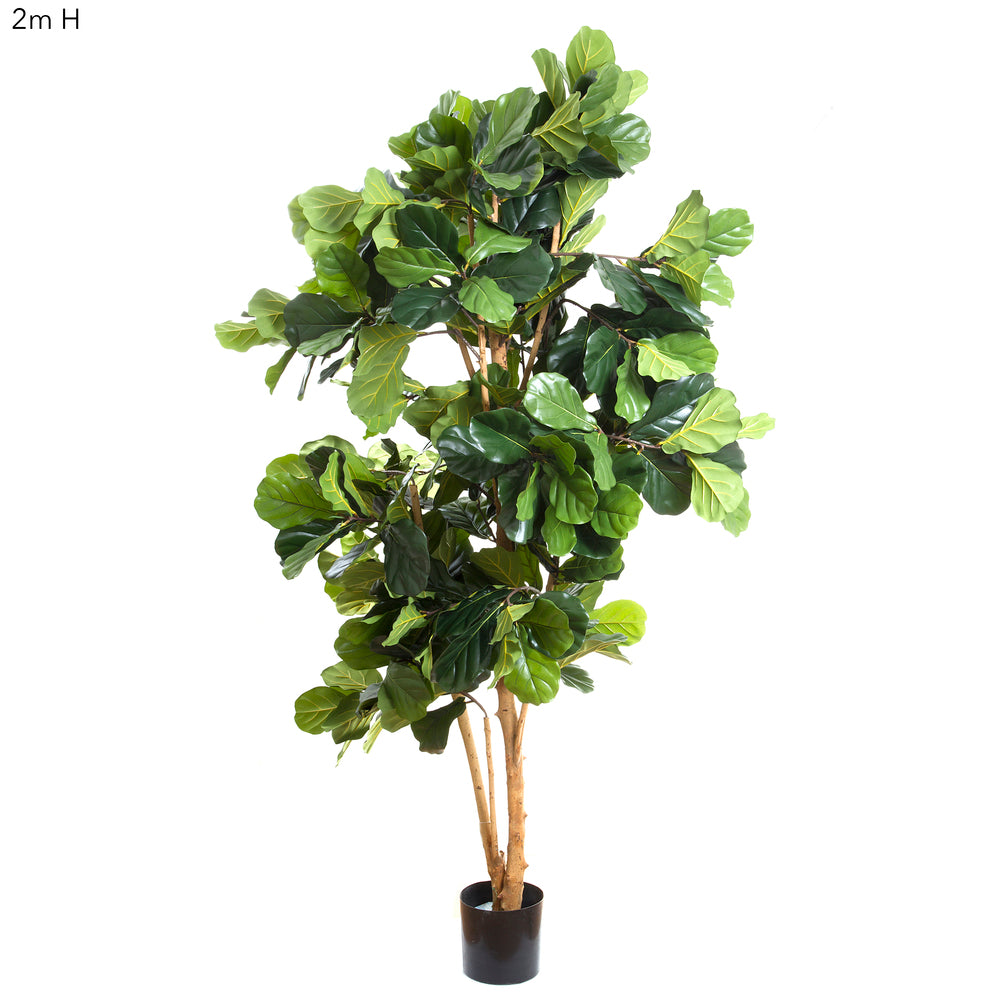Fiddle Leaf Tree 2m