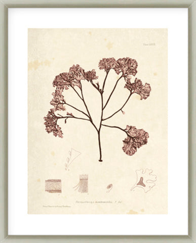 Cystoseira Faeniculacea Framed Print