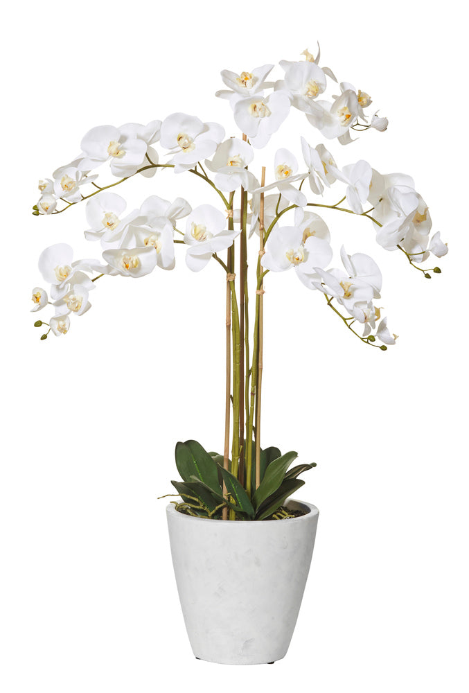 Butterfly Orchid in Tall White Pot
