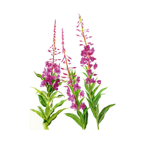 Bio Organique Hebrs - Small-Flowered Willow Bio Herb (Epilobium Parviflorum) (2x200g) 400g 14.1oz