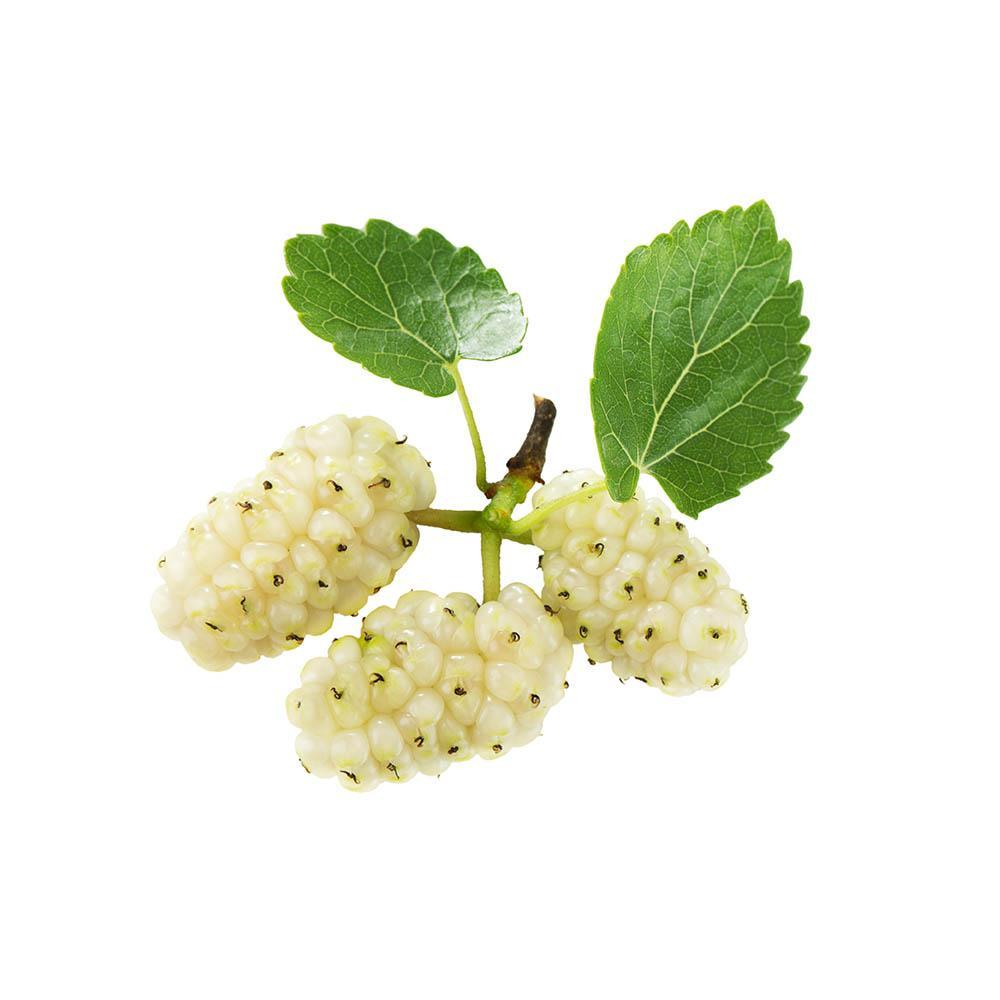 White Mulberry (Morus alba) Dried Leaves 50g 1.76oz | Biokoma.com