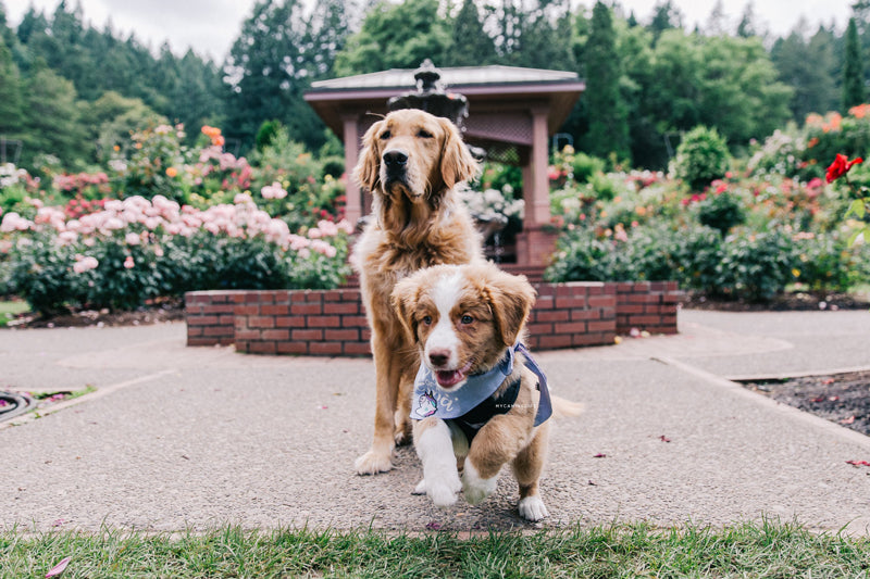 Puppy running. How to take awesome instagram pics of your dog. Blog post by Hana Kim from @mycaninelife for Clive and Bacon