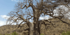 Ingredient Focus: Baobab