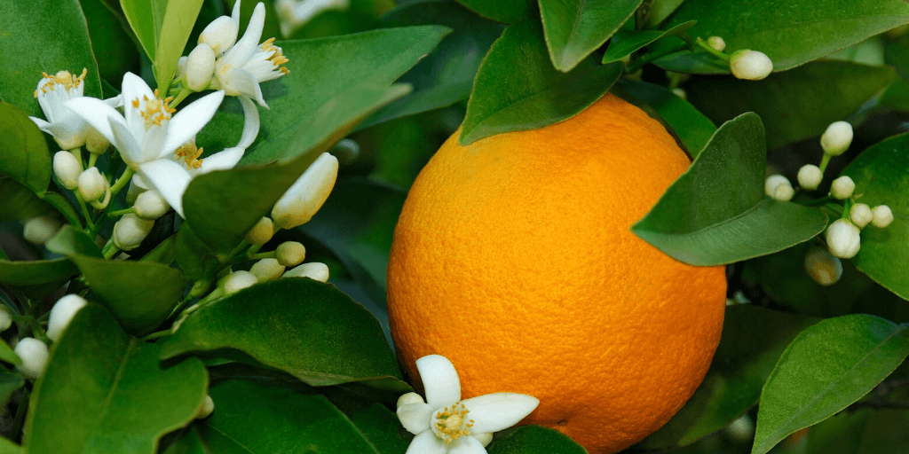 Our Organic Orange Flower Water Comes From Orange Blossom