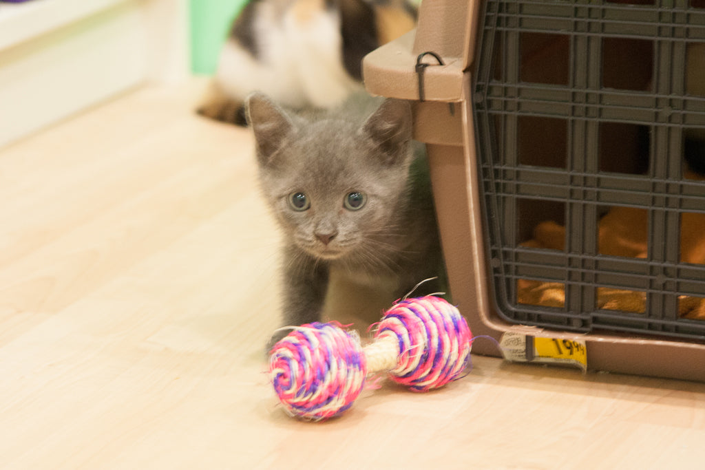 Penny Shima Glanz: Lessons From a Kitten
