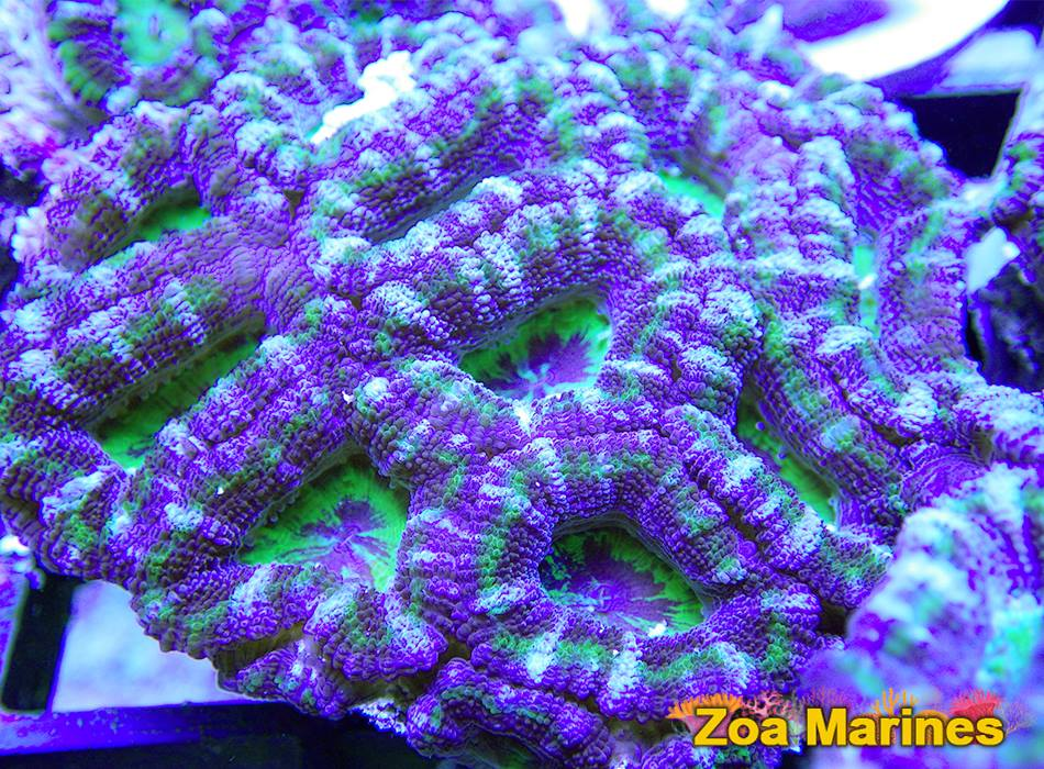 Acan Purple Borgs