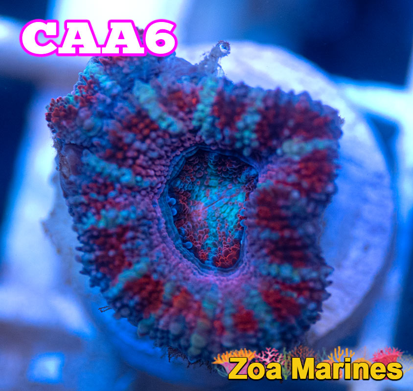 UV 'Pink Passion' Acan Lords, Various Sizes. (no. CAA6)