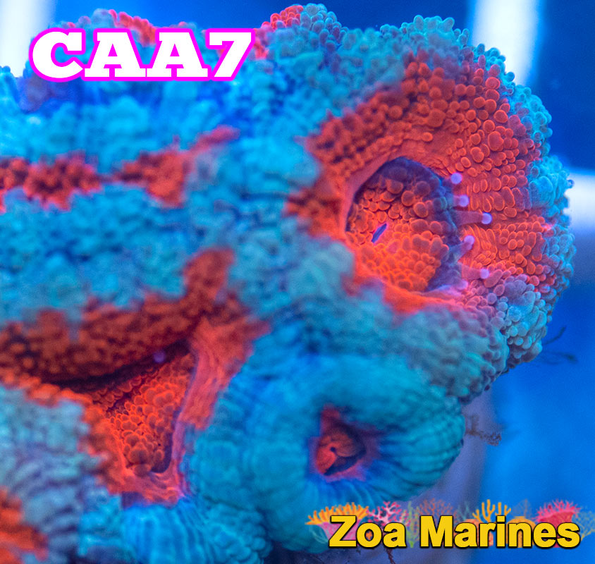 UV Red and Turquoise Acan Lords, Various Sizes. (no. CAA7)