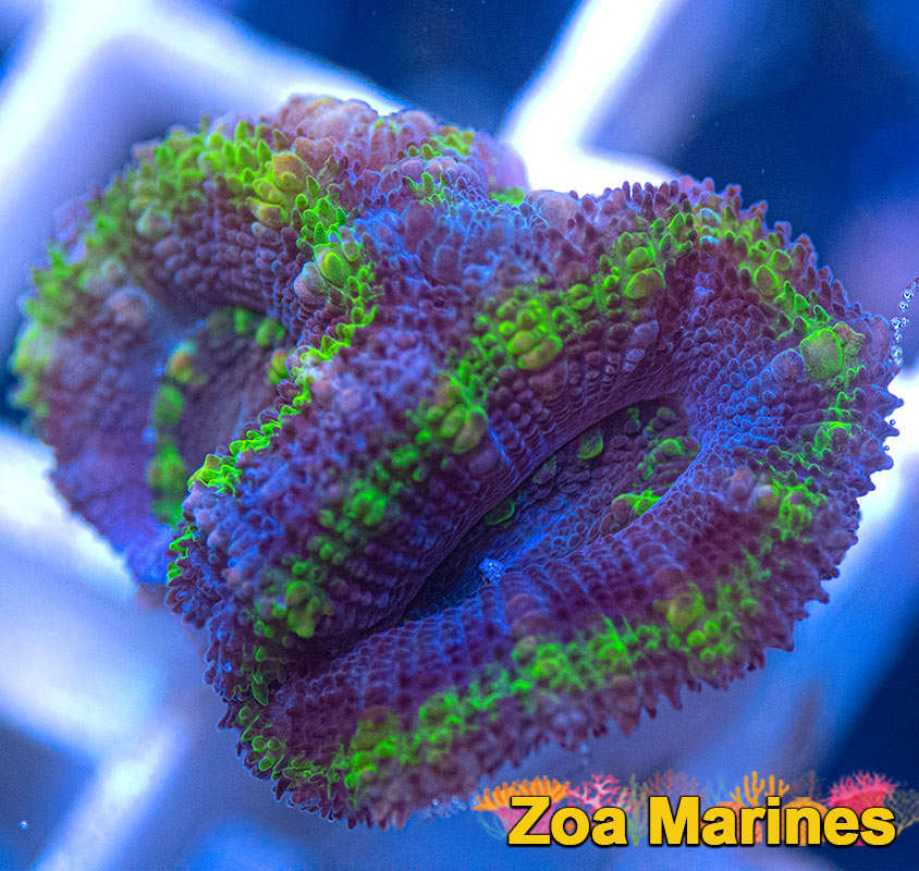 UV 'Purple Borgs' Acan Lords, Various Sizes (no. CAA8)