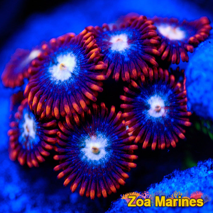 Zoa 'Fire and Ice' Frag Various Sizes